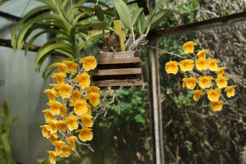 Orchideen 3 (fortlaufende Seiten 300 bis 400) - Seite 59 Dend_l11