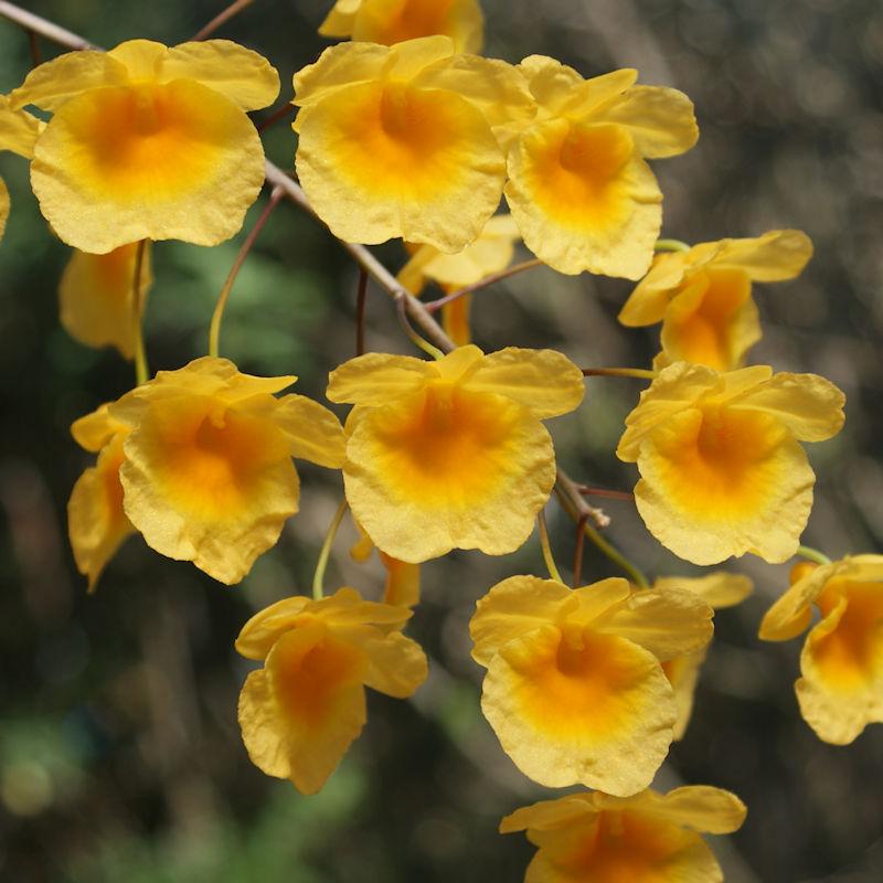 Orchideen 3 (fortlaufende Seiten 300 bis 400) - Seite 59 Dend_l14