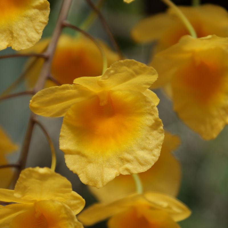Orchideen 3 (fortlaufende Seiten 300 bis 400) - Seite 59 Dend_l15