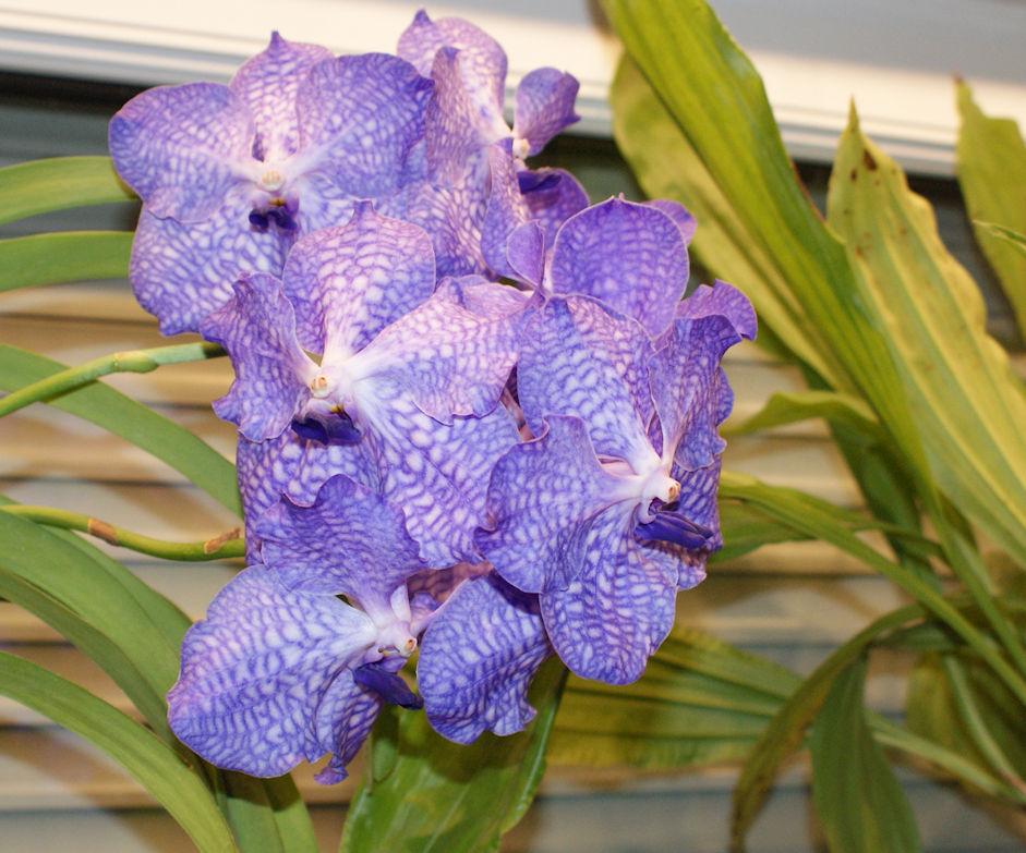 Orchideen 3 (fortlaufende Seiten 300 bis 400) - Seite 37 Vanda210