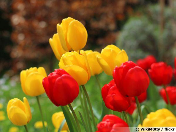 J'aime ou je n'aime pas - Page 32 Tulipe11