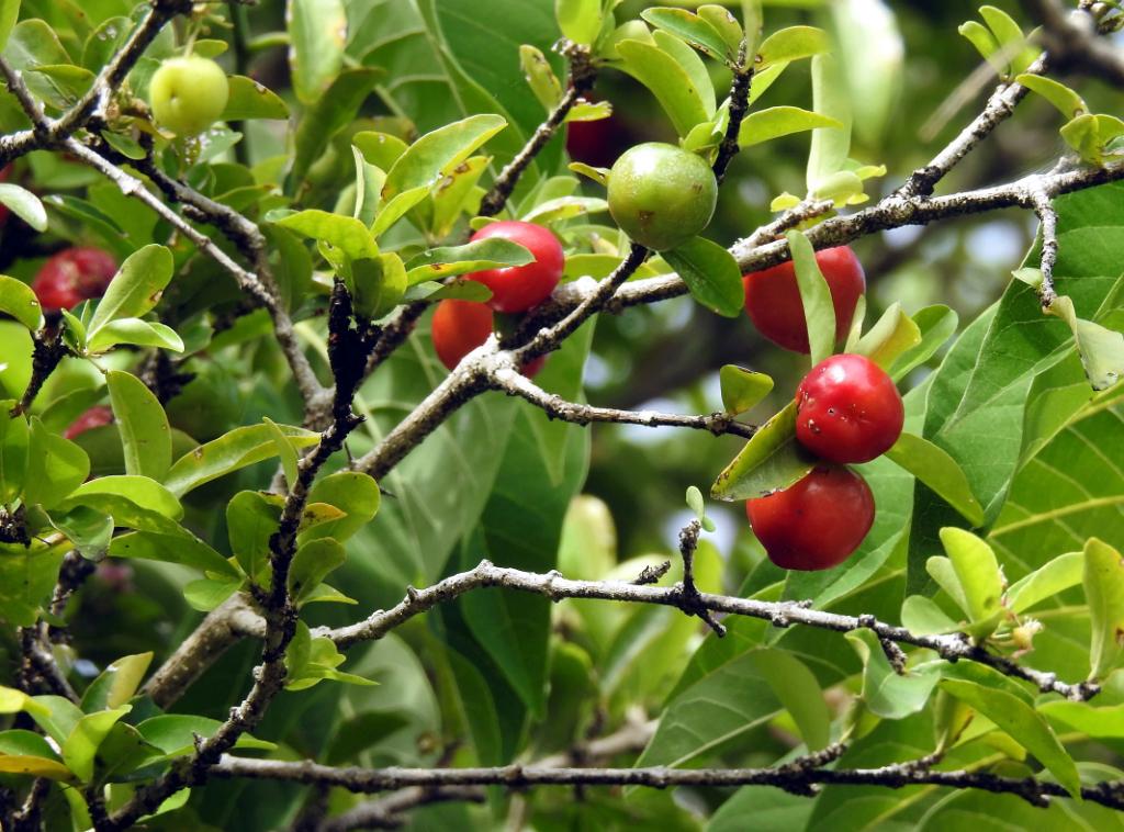 cerise pays (des pitis fruits rouges ... devinette trouvée ) Cerise10