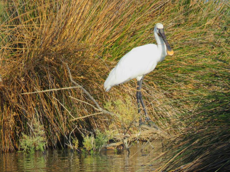 Fórum Aves - Birdwatching em Portugal - Portal Colher10