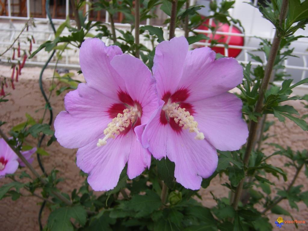 Fleurs de saison - Page 15 Althea10