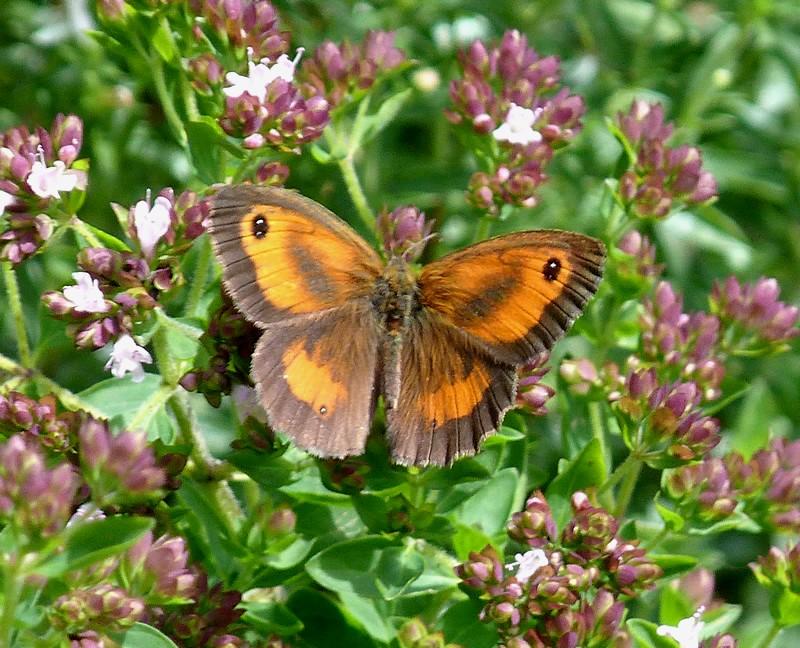 Papillons Amaryl10