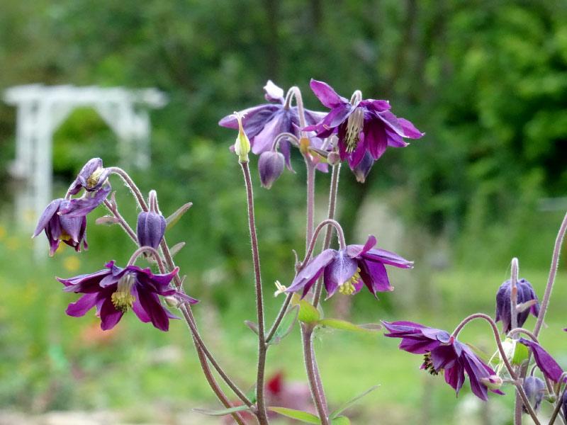 Fleurs de saison - Page 26 Ancoli10