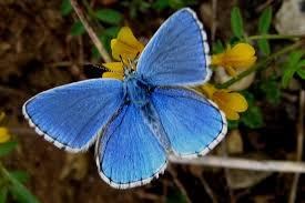 Papillons Argus_10