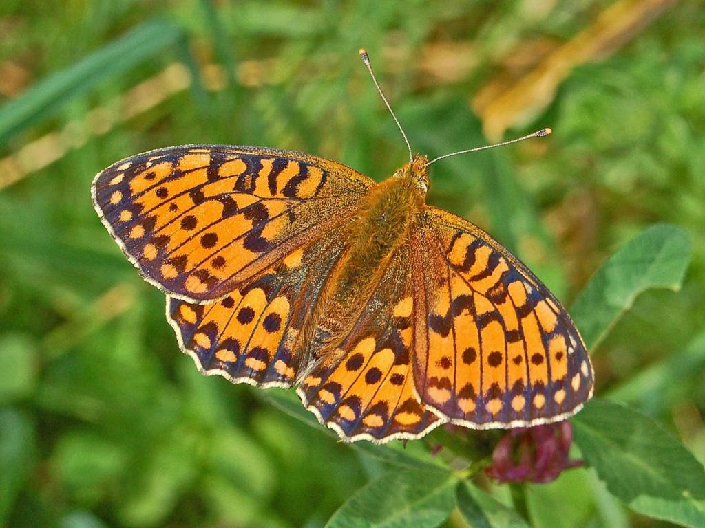 Papillons Argynn10