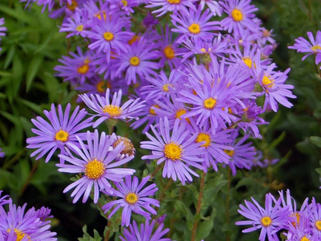 Fleurs de saison - Page 17 Aster_10