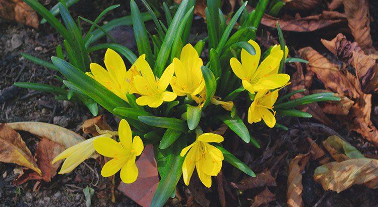 Fleurs de saison - Page 18 Crocus10