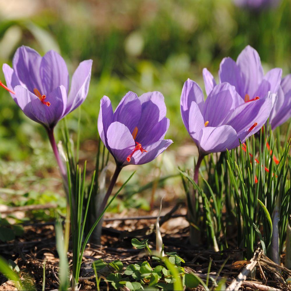 Fleurs de saison - Page 18 Crocus11