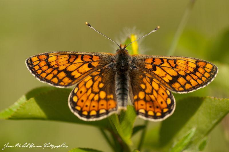 Papillons Damier10