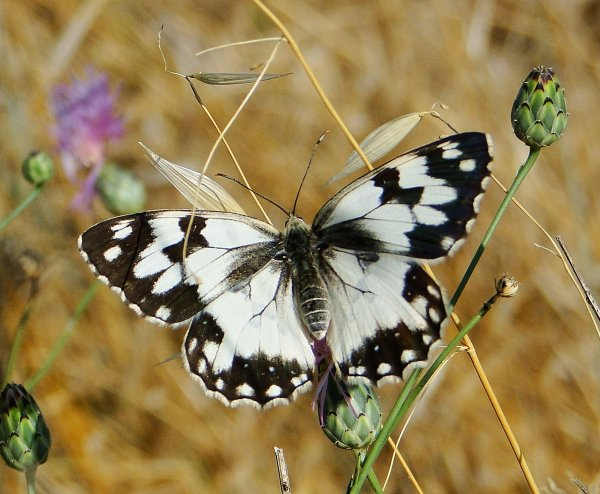 Papillons - Page 2 Demi_d10