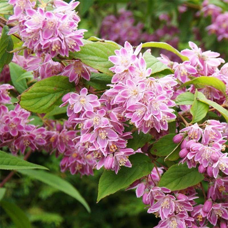 Fleurs de saison - Page 26 Deutzi11