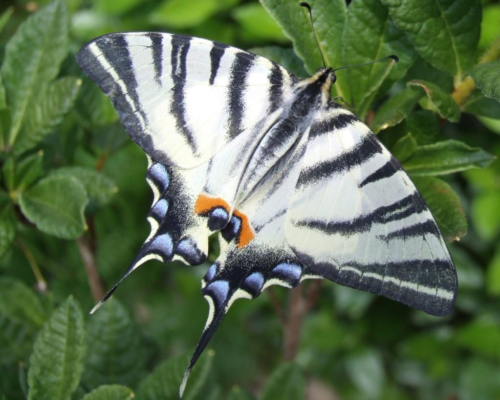 Papillons Flambz10