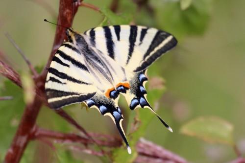 Papillons - Page 2 Flambz11