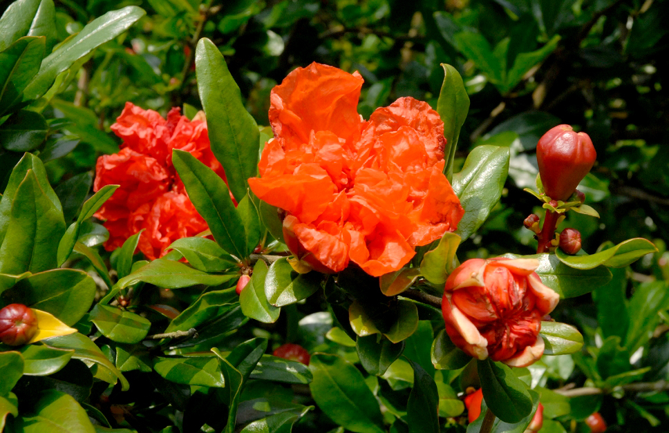 Fleurs de saison - Page 26 Grenad10