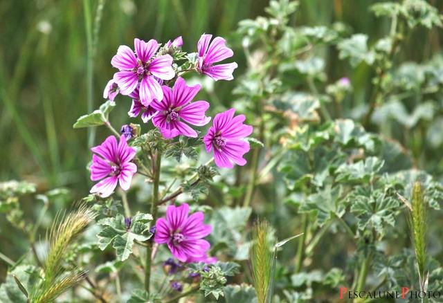 Fleurs de saison - Page 14 Mauve-10