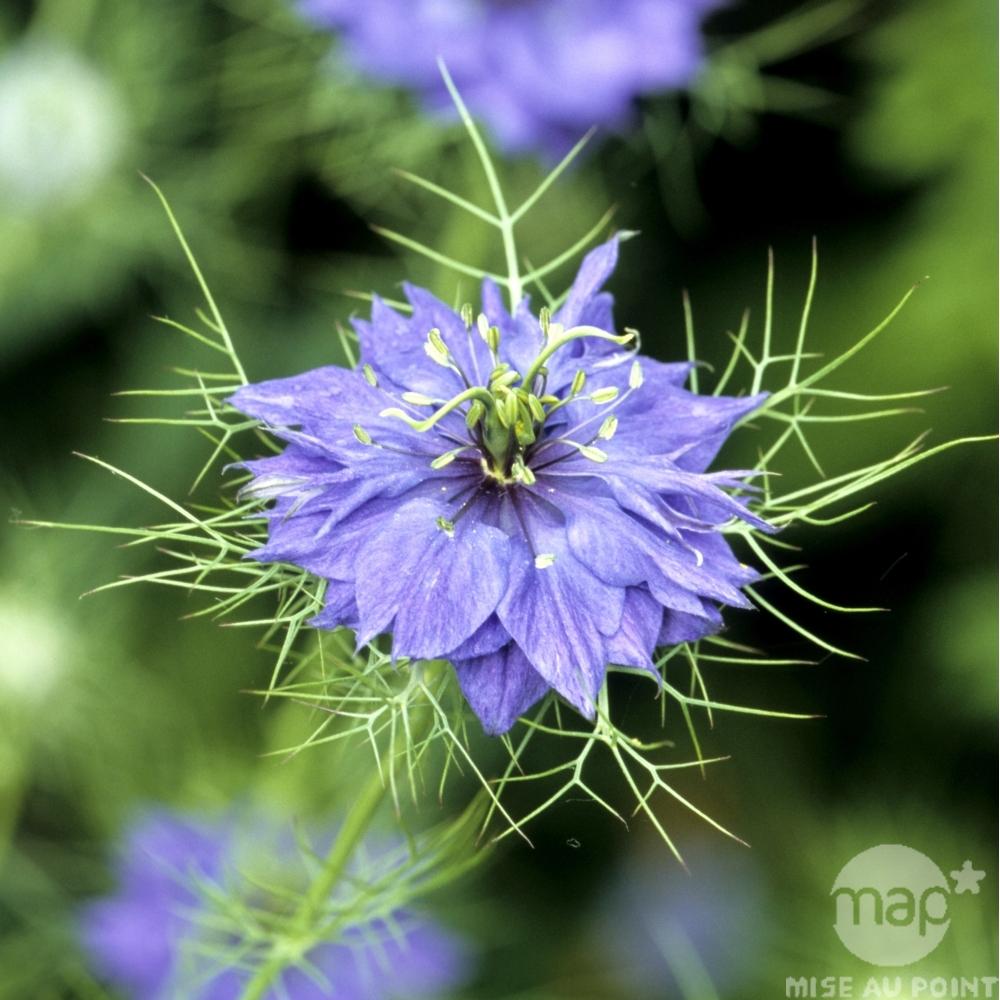 Fleurs de saison - Page 15 Nigell10