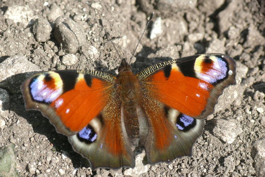 Papillons Paon_d10