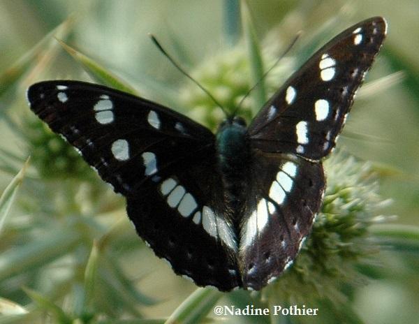 Papillons - Page 2 Petit-10