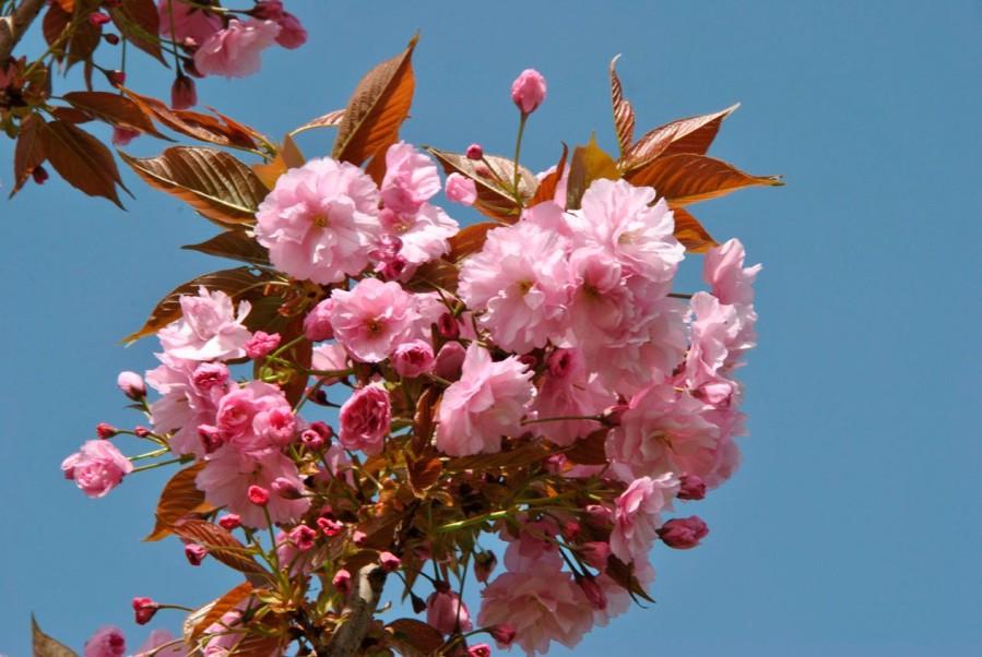 Fleurs de saison - Page 22 Prunus10