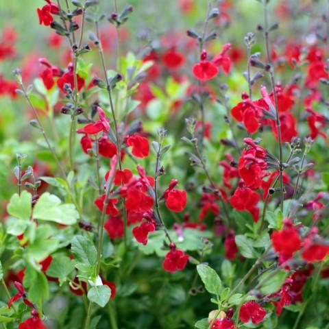 Fleurs de saison - Page 29 Salvia10