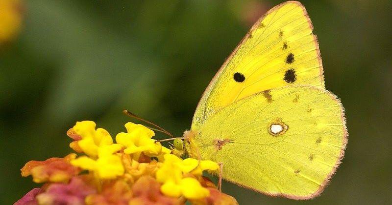 Papillons Souffr10