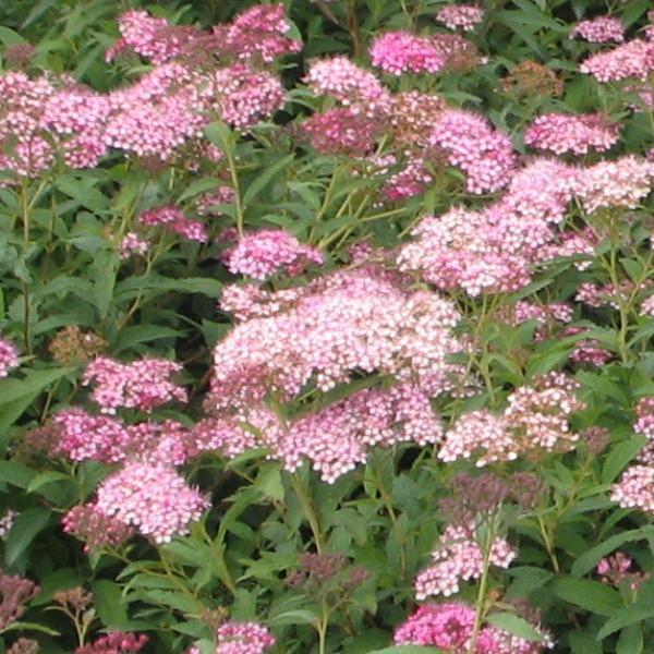 Fleurs de saison - Page 26 Spirzo10