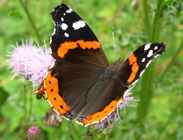 Papillons Vulcai10