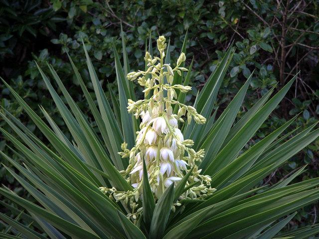 Fleurs de saison - Page 18 Yucca-10