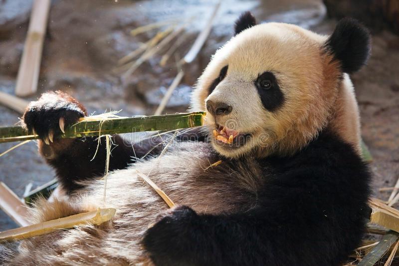 Vint 2 fèves hier. Je les ai fumées !  Panda13