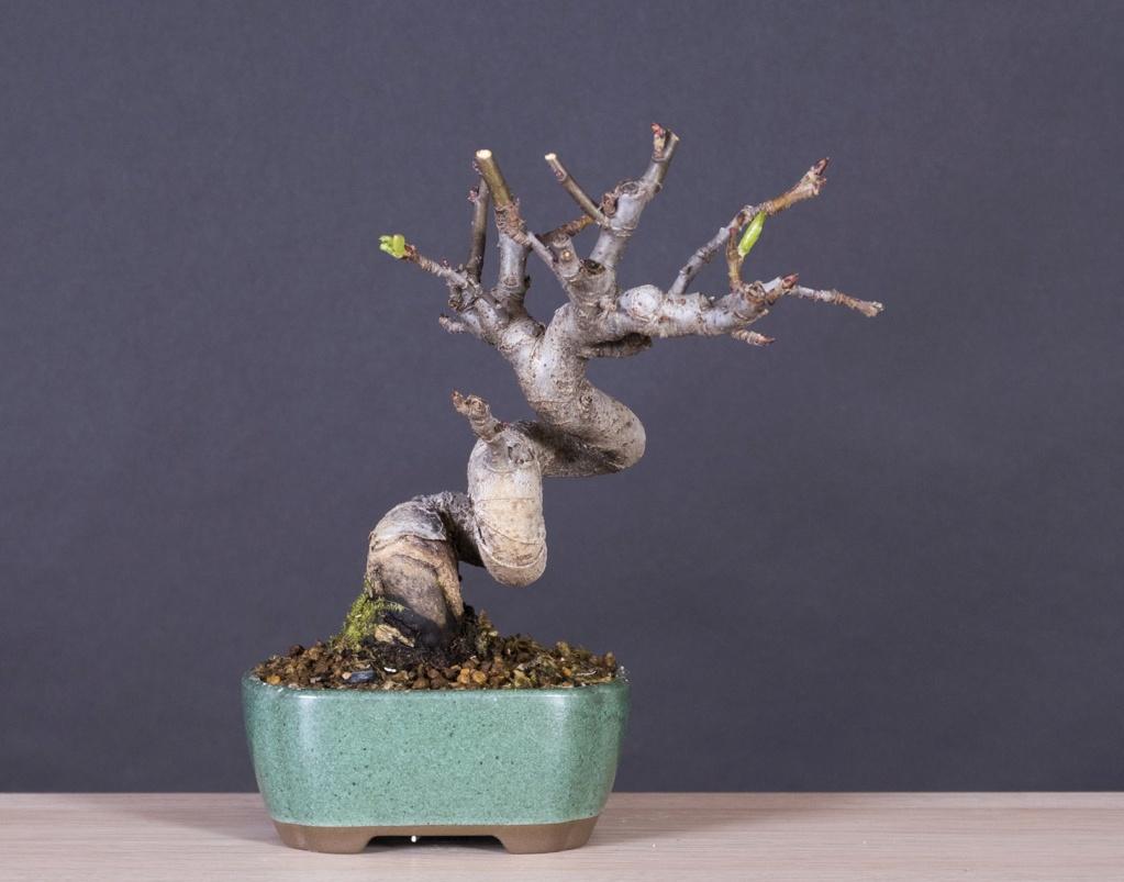 Mi proyecto de manzano Malus_10