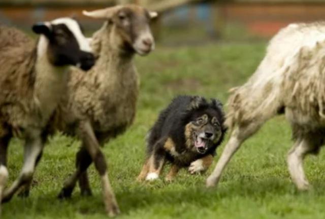 Смешные животные (видео) - Страница 3 Scree807