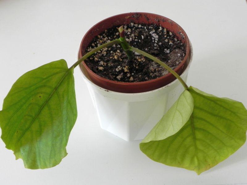Maulbeergewächse (Moraceae) - Seite 10 1110