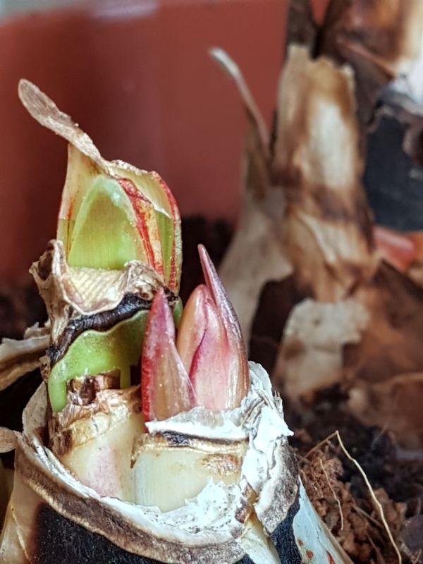 Amaryllisgewächse - Amaryllidaceae (Hippeastren, Nerine, Amaryllis, Agapanthus und auch Allium & Narzissen) - Seite 74 2124