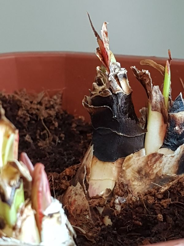 Amaryllisgewächse - Amaryllidaceae (Hippeastren, Nerine, Amaryllis, Agapanthus und auch Allium & Narzissen) - Seite 74 2223