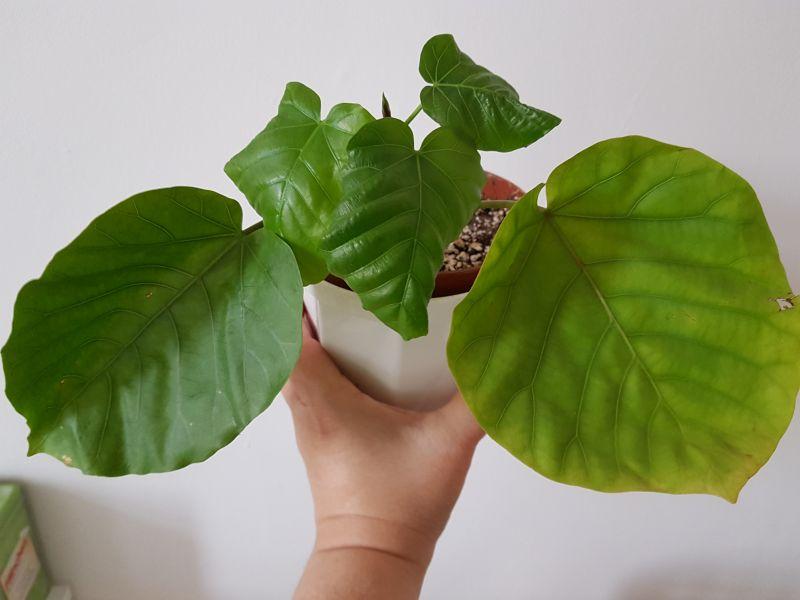Maulbeergewächse (Moraceae) - Seite 10 2610