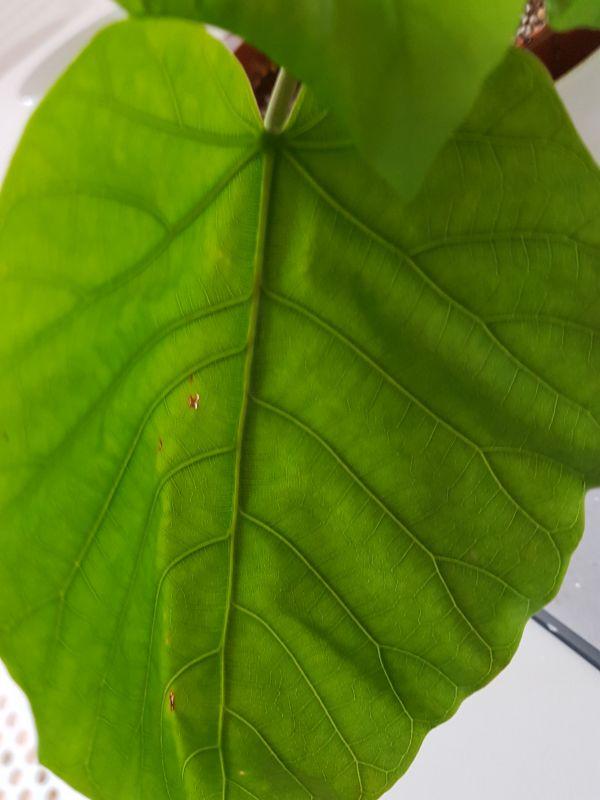 Maulbeergewächse (Moraceae) - Seite 10 2710