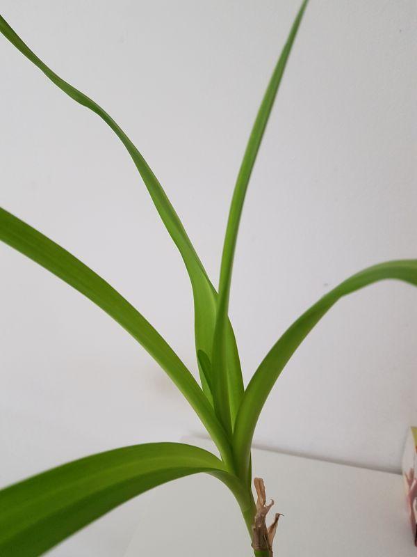 Amaryllisgewächse - Amaryllidaceae (Hippeastren, Nerine, Amaryllis, Agapanthus und auch Allium & Narzissen) - Seite 62 3014
