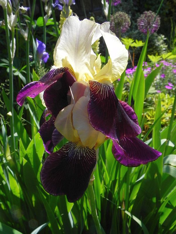 Schwertliliengewächse: Iris, Tigrida, Ixia, Sparaxis, Crocus, Freesia, Montbretie u.v.m. - Seite 28 415