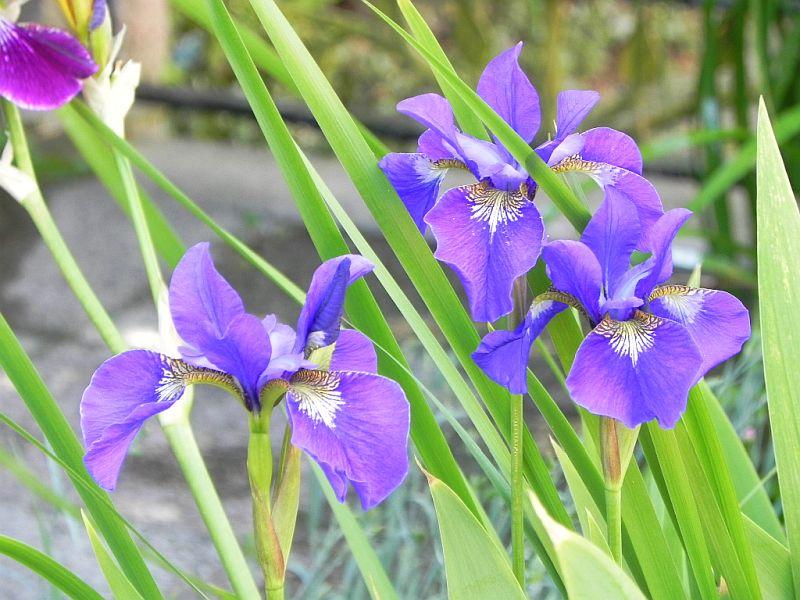 Schwertliliengewächse: Iris, Tigrida, Ixia, Sparaxis, Crocus, Freesia, Montbretie u.v.m. - Seite 28 4211