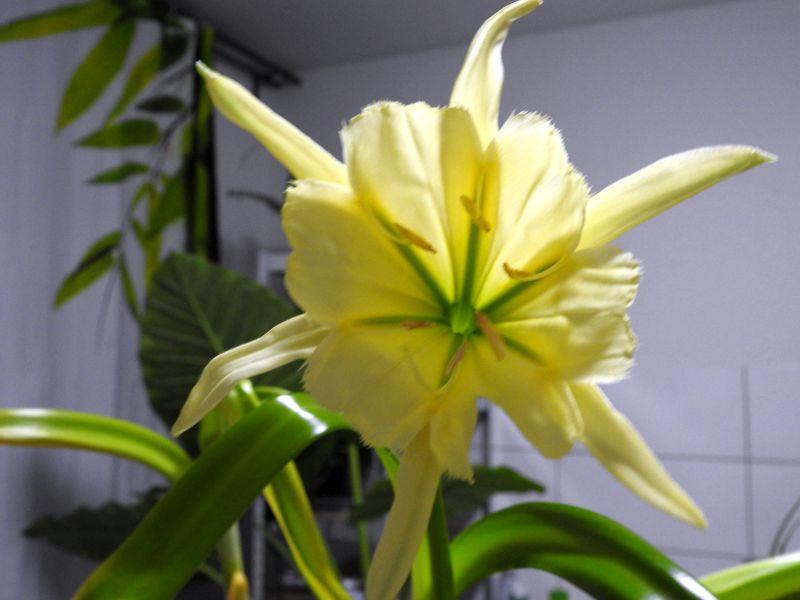 Amaryllisgewächse - Amaryllidaceae (Hippeastren, Nerine, Amaryllis, Agapanthus und auch Allium & Narzissen) - Seite 74 423