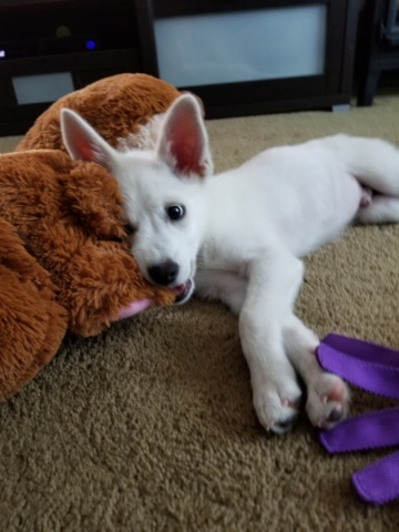 Hi! I just got a new Siberian husky puppy (I think?) 20180910