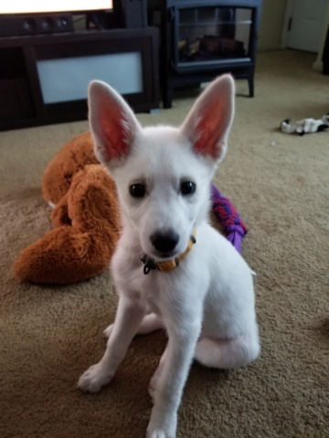 Hi! I just got a new Siberian husky puppy (I think?) 20180912