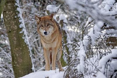Delphinia Wolf-110