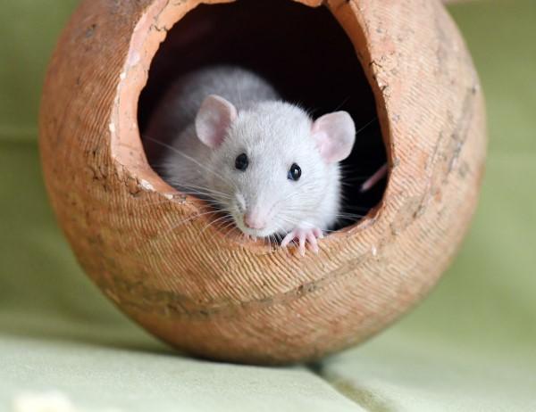 Rats de bibliothèque Gmv-0017