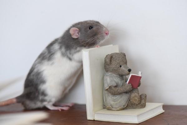 Rats de bibliothèque Gmv-0018