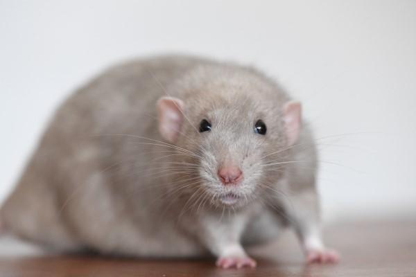 Rats de bibliothèque Gmv-0019