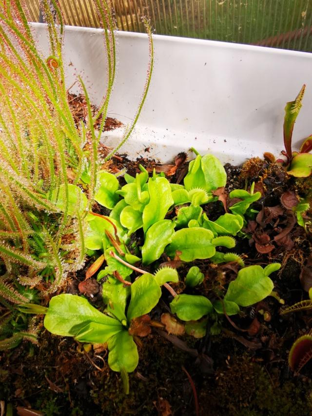 Échange Sarracenia et dionaea MAJ Img_2021